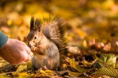 O esquilo comunica-se com o ser humano no parque do outono fotos de stock royalty free