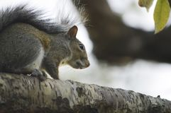 O esquilo curioso Fotos de Stock Royalty Free