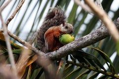 O esquilo da palma come o fruto, Fotos de Stock Royalty Free