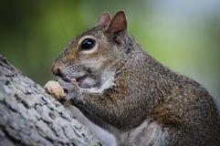Squirrel o assento na casca de árvore que come um amendoim Foto de Stock Royalty Free