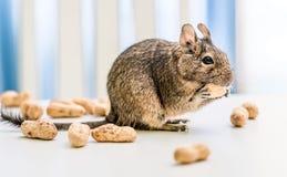 O esquilo de Degu rói o amendoim, close-up foto de stock