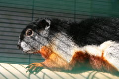 O esquilo de Prevost Imagens de Stock Royalty Free
