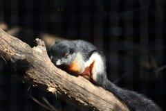O esquilo de Prevost Imagem de Stock Royalty Free