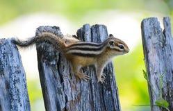 O esquilo do Siberian da foto Imagens de Stock Royalty Free