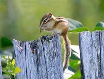 O esquilo do Siberian da foto Imagens de Stock