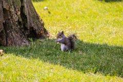 O esquilo do verão come uma porca imagens de stock royalty free