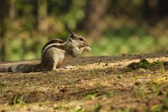 O esquilo está com fome algumas grões foto de stock