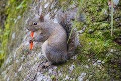O esquilo está comendo microplaquetas picantes Imagem de Stock Royalty Free