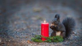 O esquilo está comendo uma porca perto de uma vela. Fotos de Stock Royalty Free