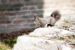 O esquilo está correndo sobre a parede de pedra Imagens de Stock Royalty Free