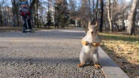 O esquilo está em seus pés traseiros no parque do outono fotos de stock