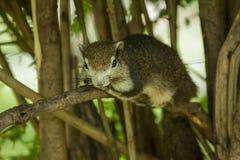 O esquilo está encontrando-se em um ramo fotografia de stock