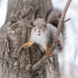 O esquilo está indo saltar de um ramo de árvore imagem de stock royalty free