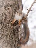 O esquilo está indo saltar de um ramo de árvore fotografia de stock royalty free