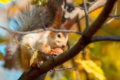 O esquilo guarda uma noz em suas patas fotos de stock