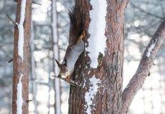 O esquilo macio curioso guarda o tronco de árvore na floresta do inverno e headfirst a vista na câmera fotografia de stock