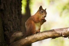 O esquilo marrom pequeno come uma porca no parque Fotos de Stock