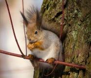 O esquilo na filial fotos de stock royalty free