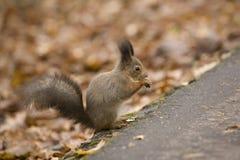 O esquilo na terra Imagens de Stock Royalty Free