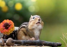 O esquilo olha acima com n enchido mordentes uma cena sazonal do outono com sala para o texto acima fotografia de stock
