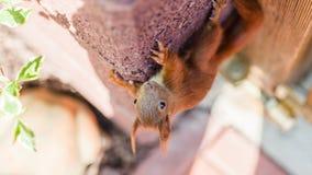 O esquilo peludo está escalando em um parque da cidade da parede na primavera imagens de stock royalty free