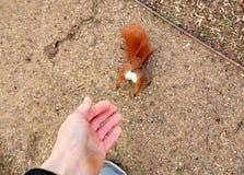 O esquilo pequeno pede um amendoim fotografia de stock