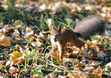 O esquilo que salta na grama imagens de stock