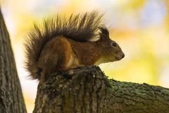 O esquilo que senta-se no ramo de uma árvore no parque sobre na floresta no dia morno e ensolarado do outono foto de stock royalty free