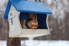 O esquilo rói a porca em uma calha de alimentação com um telhado azul Foto de Stock