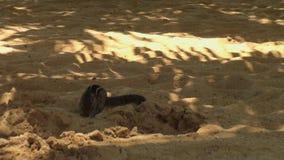 O esquilo rói porcas na areia em Maldivas vídeos de arquivo
