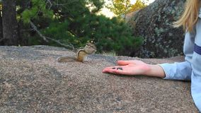 O esquilo rói sementes Imagem de Stock