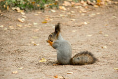 O esquilo rói uma porca Imagem de Stock Royalty Free