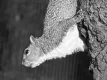 O esquilo Regent's Park Londres Fotografia de Stock
