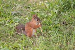 O esquilo ruivo bonito senta-se na grama no parque e no eati Fotografia de Stock Royalty Free