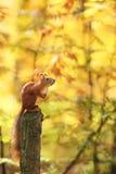 O esquilo senta-se em um coto na perspectiva da folha do outono Imagem de Stock