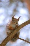 O esquilo senta-se em uma árvore Foto de Stock Royalty Free