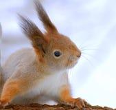 O esquilo senta-se em uma árvore Fotos de Stock
