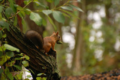 O esquilo senta-se em uma árvore Imagens de Stock