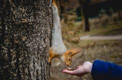 O esquilo senta-se em uma árvore e come-se sementes da palma de uma menina nas madeiras imagem de stock