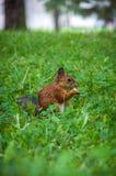 O esquilo senta-se em uma grama verde Imagens de Stock Royalty Free