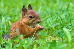 O esquilo senta-se em uma grama verde Fotos de Stock