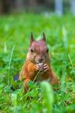 O esquilo senta-se em uma grama verde Foto de Stock