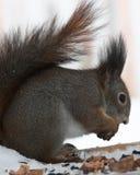 O esquilo tem o pequeno almoço Imagens de Stock Royalty Free