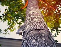 O esquilo vem para baixo da árvore Foto de Stock