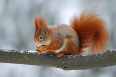 O esquilo vermelho alaranjado bonito come uma porca na cena do inverno com neve, república checa Imagens de Stock