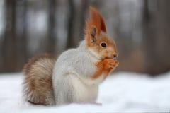 O esquilo vermelho come a porca que senta-se na neve Imagens de Stock Royalty Free