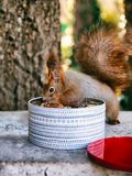 O esquilo vermelho come uma porca fotos de stock royalty free