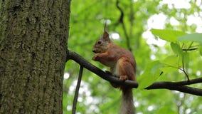 O esquilo vermelho come uma porca na árvore A ação no tempo real vídeos de arquivo