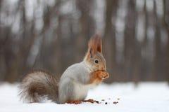 O esquilo vermelho come uma porca na neve Fotografia de Stock Royalty Free