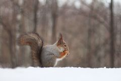 O esquilo vermelho come uma porca na neve Fotos de Stock